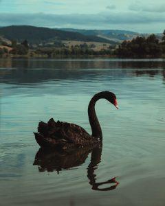 Ein schwarzer Schwan auf einem Teich